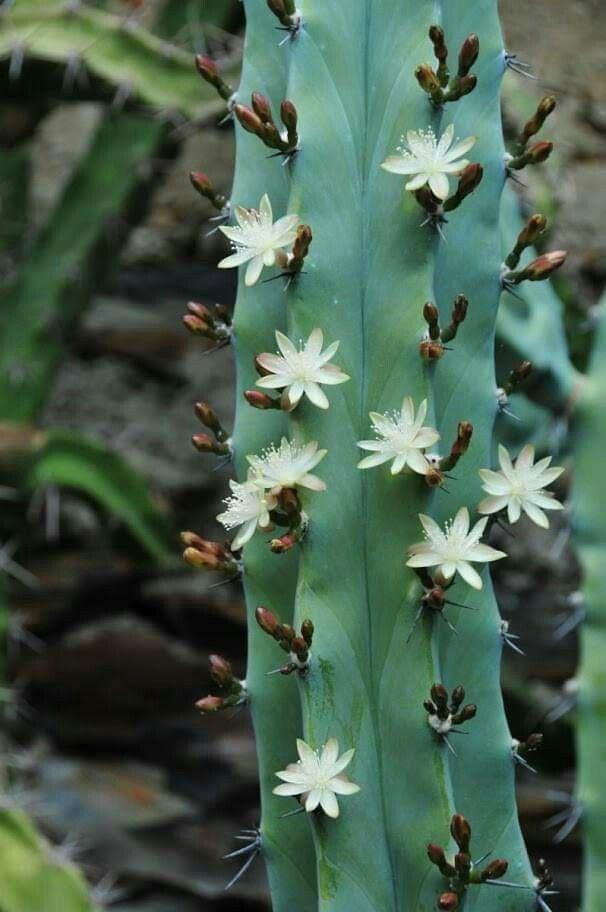 Cactus edibili: Myrtillocactusgeometrizans