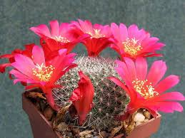 Cactus dai fiori ornamentali: Lerebutia