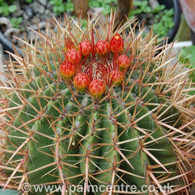 Cactus dai frutti edibili: Ferocactusstainesi