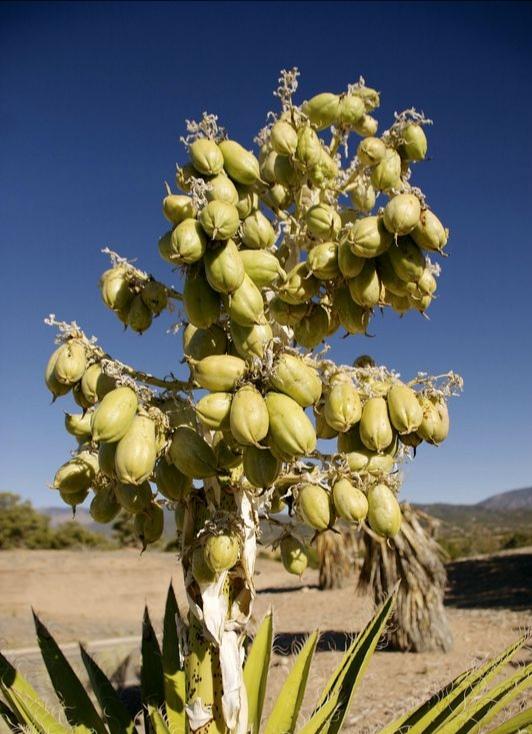 Succulente dai frutti edibili : Yucca baccata dai frutti simili allebanane