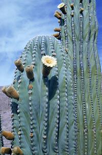 Cactus dai frutti edibili: Pachycereus pringlei(Cactus elefante,Cardon)