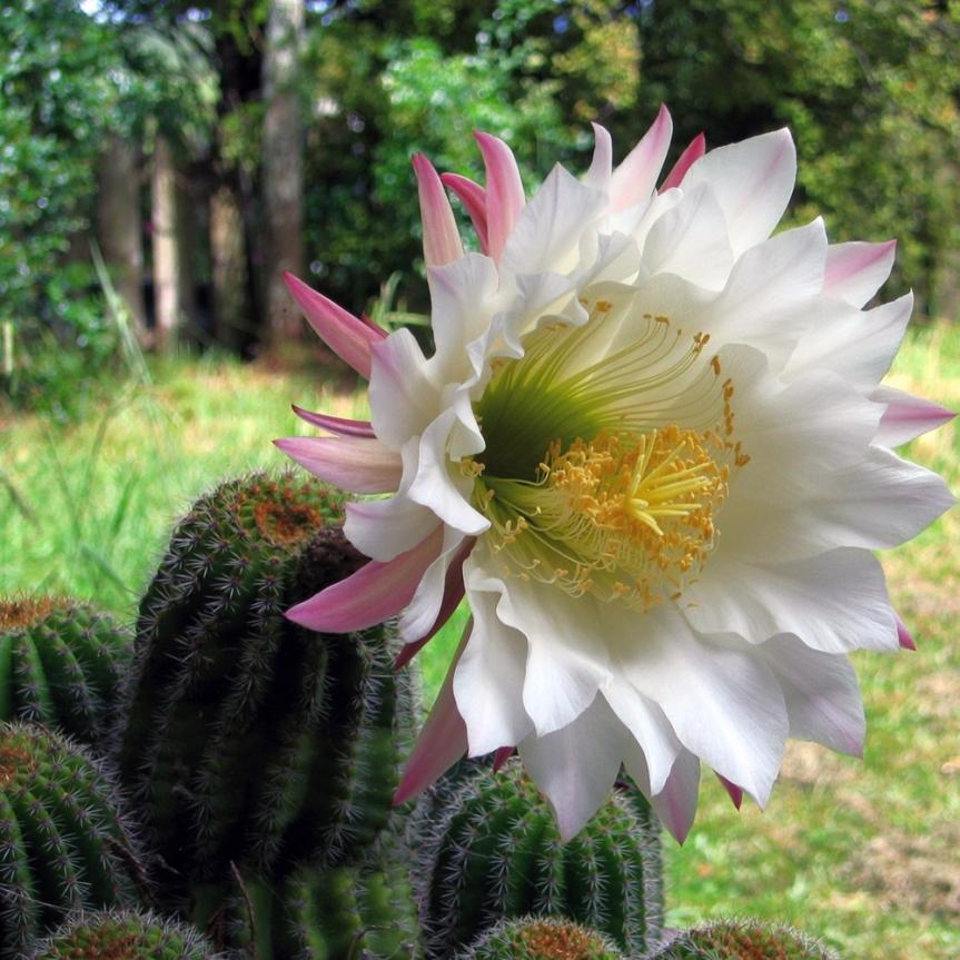Cactus edibili: Trichocereusschickendantzii