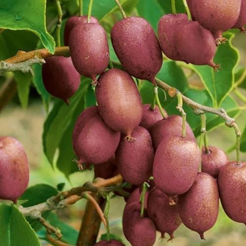 Utilizzo alimentare di actinidia arguta e metodi di coltivazione(minikiwi)