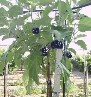 L'albero della melanzana (Solanumtorvum)