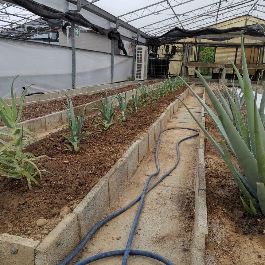 Aloe vera e arborescens con metodisostenibili