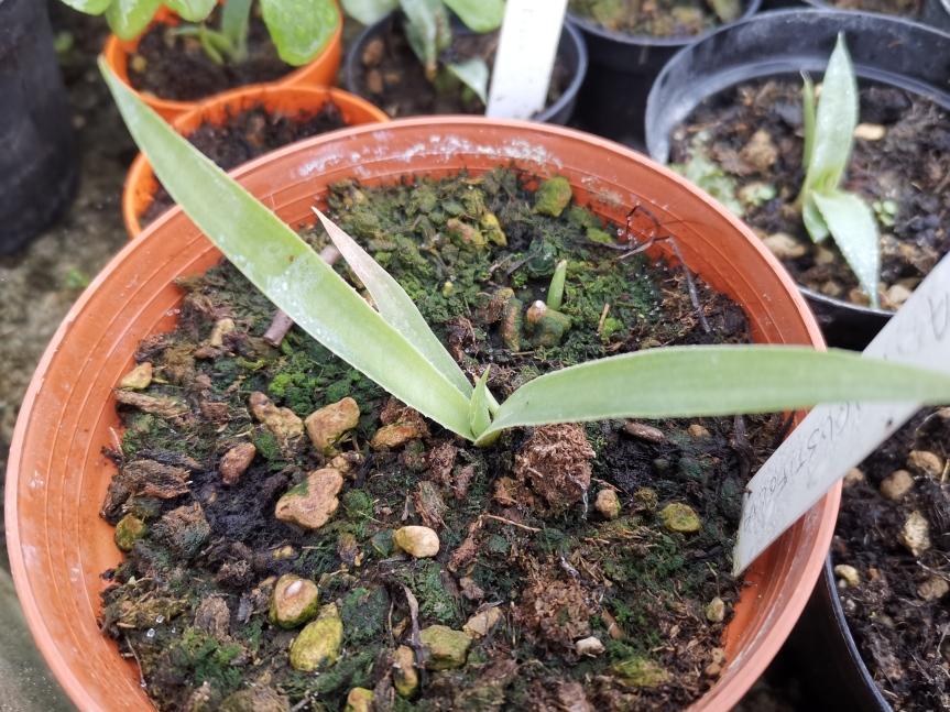 Effective microorganisms nella coltivazione di Agave Tequilana, Salmiana, Angustifolia eSisalana
