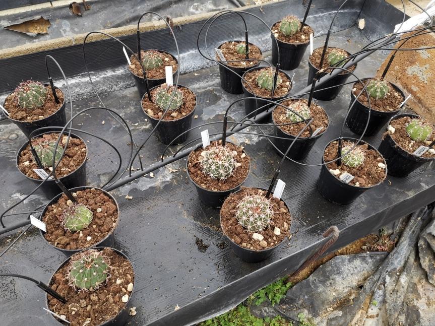 Ricerca: Uso di microrganismi biostimolanti per il miglioramento qualitativo diMelocactus