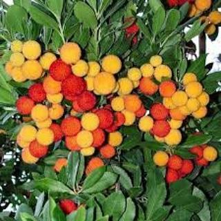 La coltivazione sostenibile di Arbutus unedo(corbezzolo)