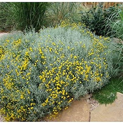 Piante per il giardino mediterraneo resistenti alla siccità – Santolina chamaecyparissus