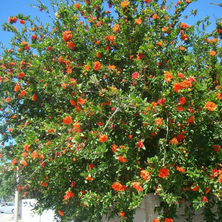 La coltivazione micronaturale di Punica granatum(Melograno)