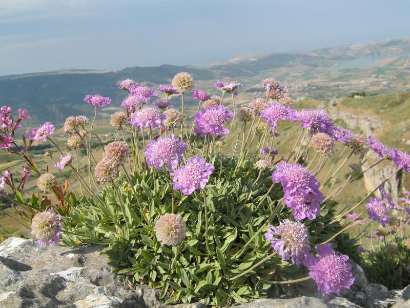 Piante per il giardino mediterraneo resistenti alla siccità – Scabiosacretica