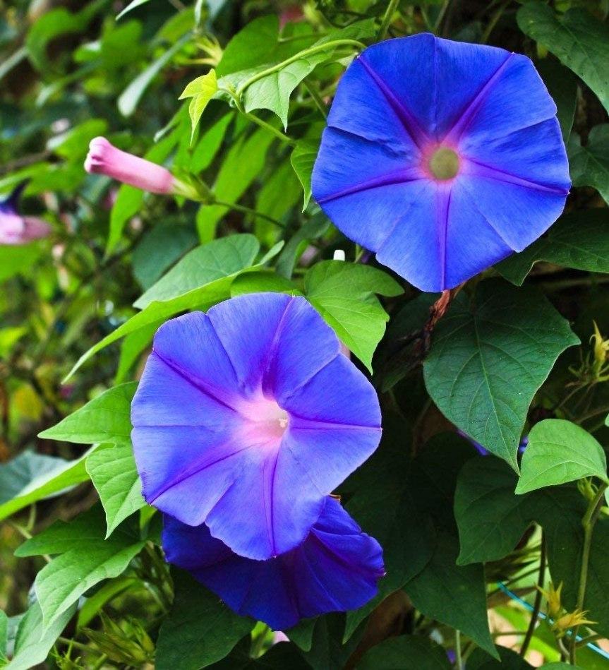"""I bellissimi colori delle ipomoea """"le campanelle"""""""