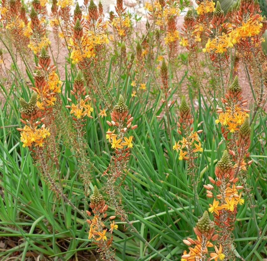 Bulbine frutescens: succulenta da giardinomediterraneo