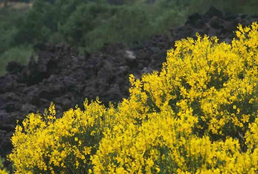 Piante per il giardino mediterraneo senza acqua – Ginestradell'Etna