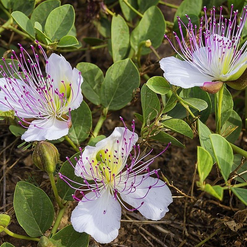 Il Capparis spinosa (cappero) come pianta ornamentale del giardinomediterraneo