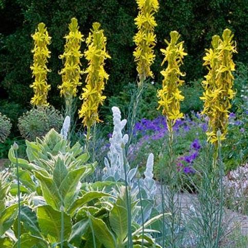 Piante per giardino mediterraneo – Asphodelinelutea