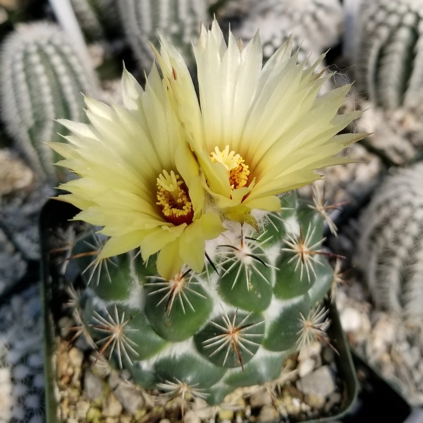 Cactus da frutto – Coryphantha robbinsorum erecurvata