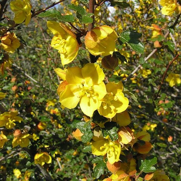 Piante per giardino mediterraneo – Fremontodendron CaliforniaGlory