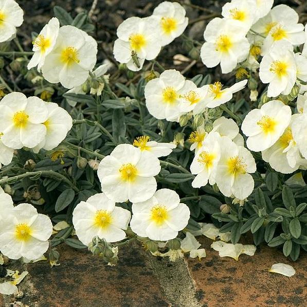 Piante per il giardino mediterraneo resistenti alla siccità e al freddo – Helianthemumapenninum
