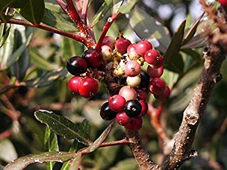Piante del giardino mediterraneo resistenti a freddo e siccità –Lentisco