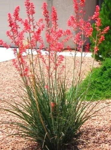 Succulente ornamentali –Hesperaloe