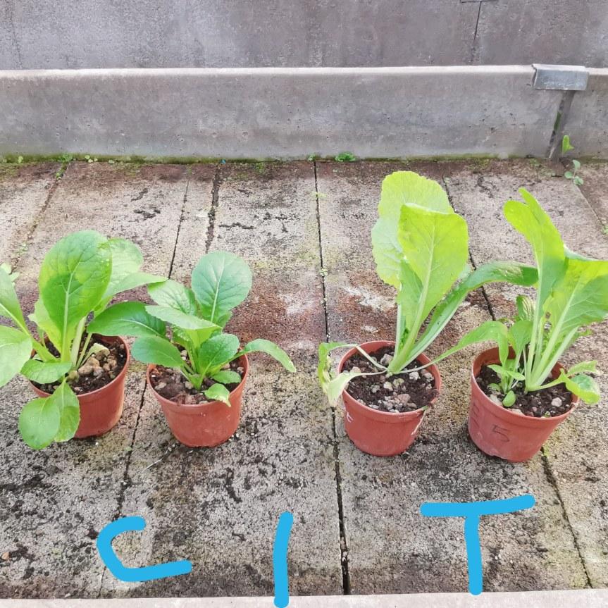 Micorrize nella coltivazione di Pak Choi, Spinacio e Carota in substrato con stresssalino.