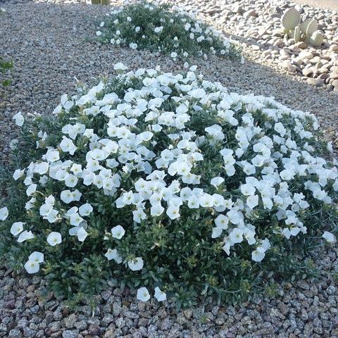 Piante per il giardino mediterraneo resistenti a freddo e siccità – Convolvuluscneorum
