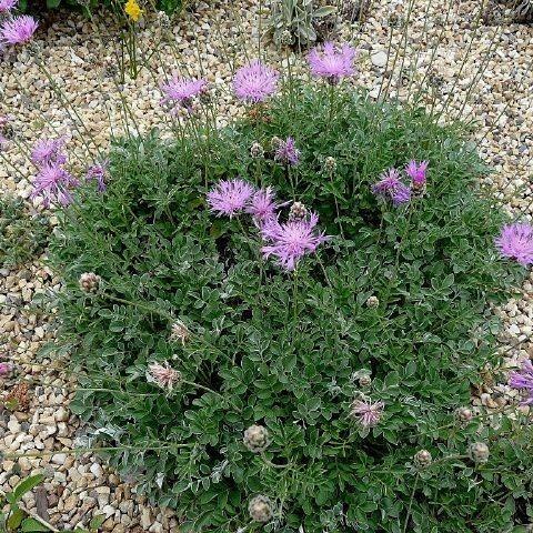 Coltivare piante per il giardino mediterraneo resistenti a siccità e freddo – Centaureabella