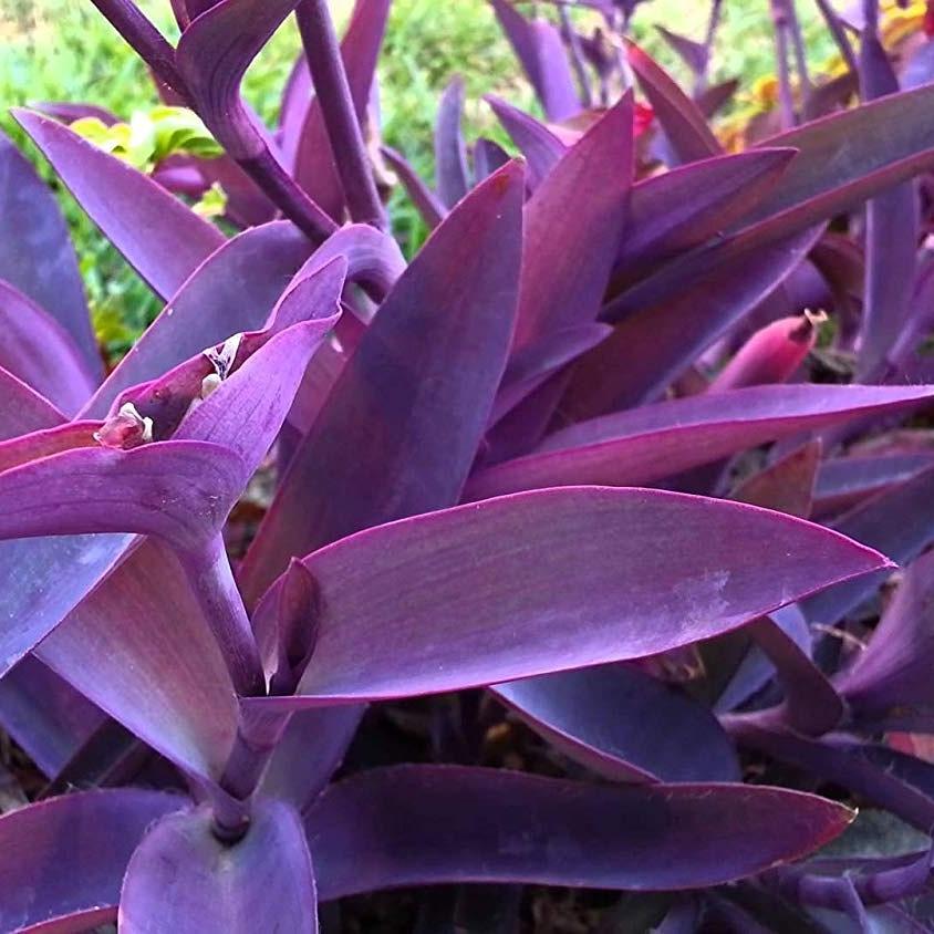 Succulente ad uso ornamentale –Tradescantia