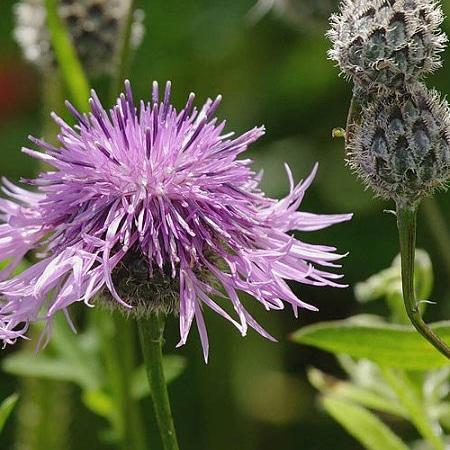 Piante d'interesse apistico – Centaureascabiosa