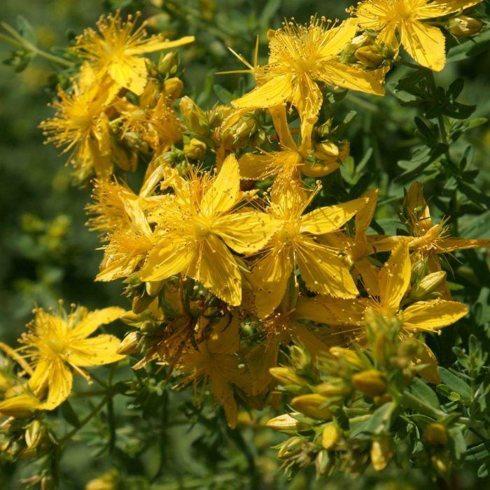 Le piante che attirano lefarfalle