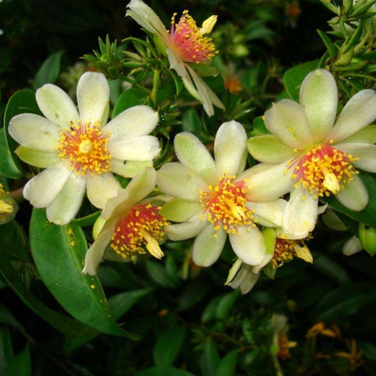 Cactus ornamentali e alimentari –Pereskia