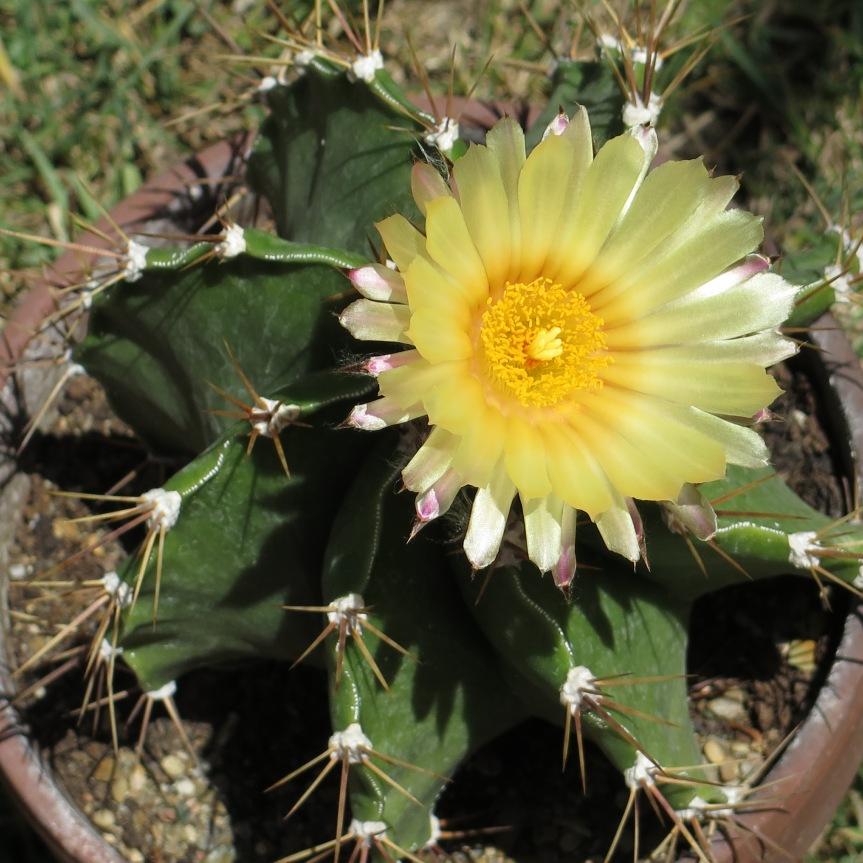 La coltivazione di Astrophytumornatum