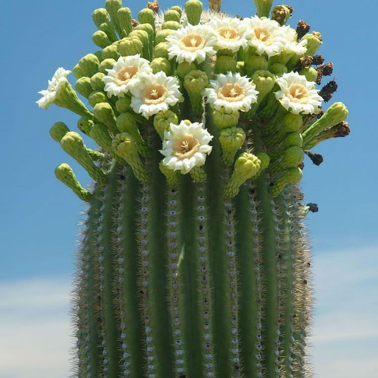 La coltivazione di Carnegia Gigantea(Saguaro)
