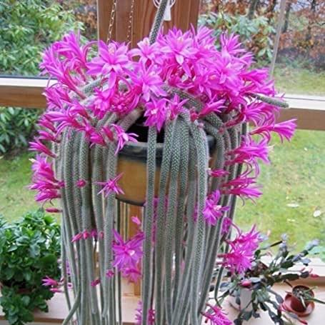 Aporocactus flagelliformis incoltivazione