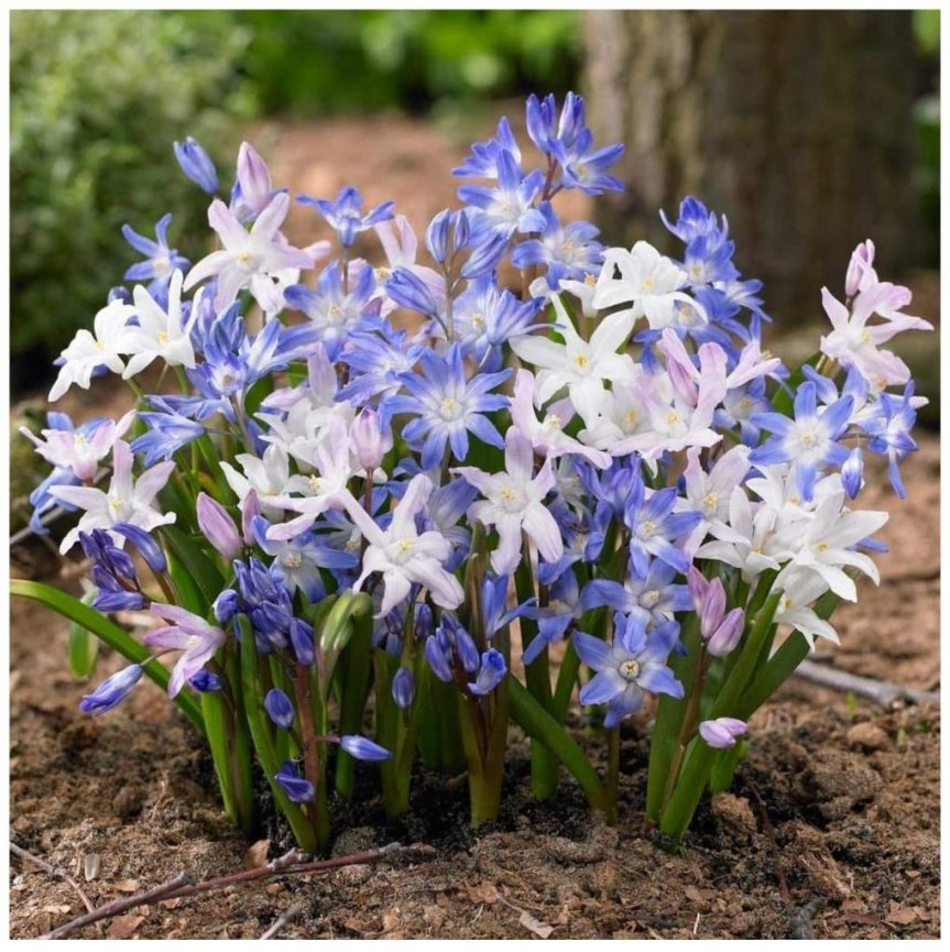 Bulbose a fioritura primaverile:chionodoxa