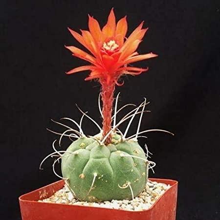 La coltivazione di Borzicactusmadisoniorum