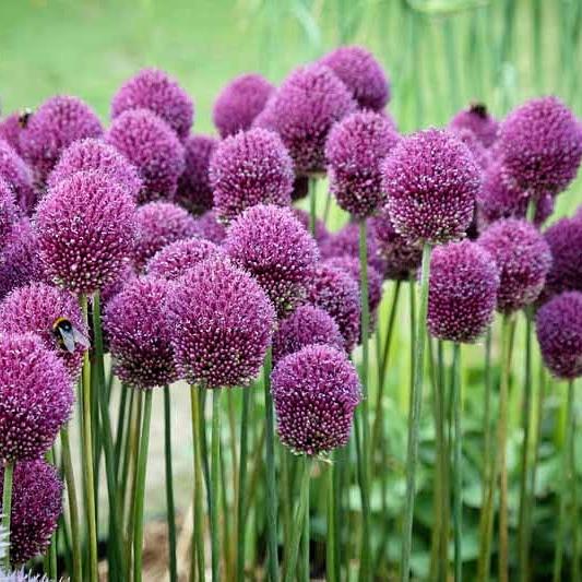 Le bulbose ornamentali a fioritura primaverile – Allium –Liliaceae