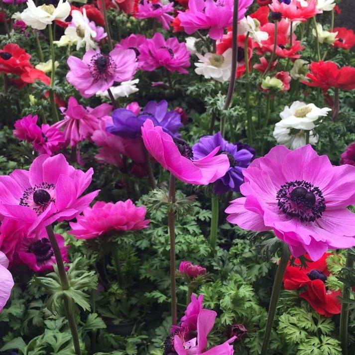 La coltivazione di bulbose ornamentali primaverili – Anemone –Ranuncolacee