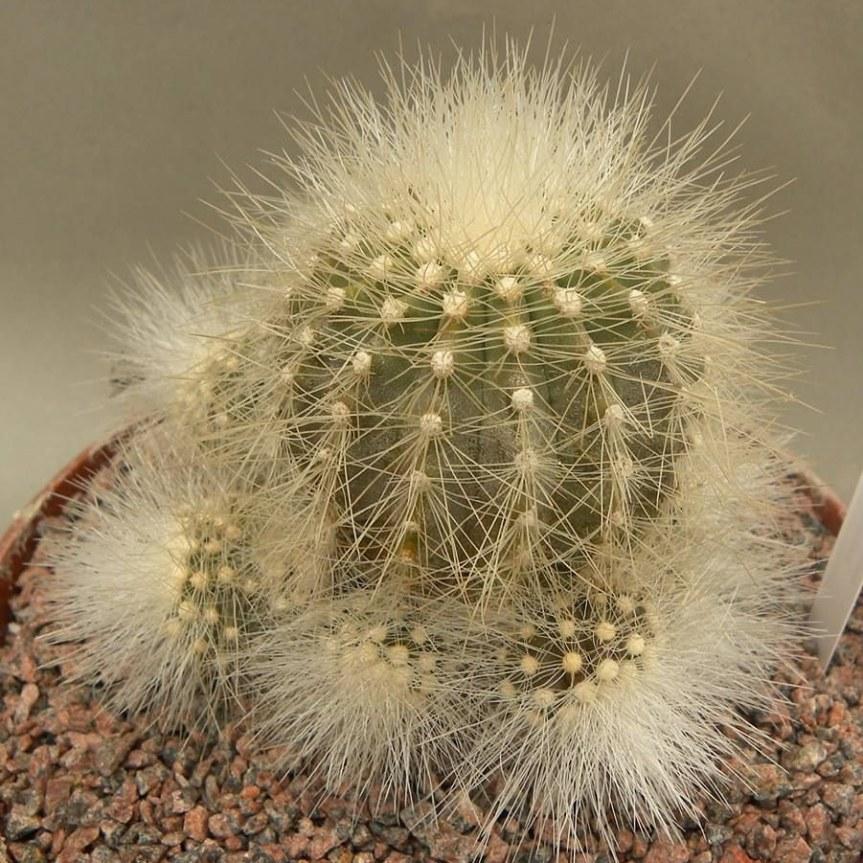 Copiapoa krainziana, cactus a frutti giallorossi