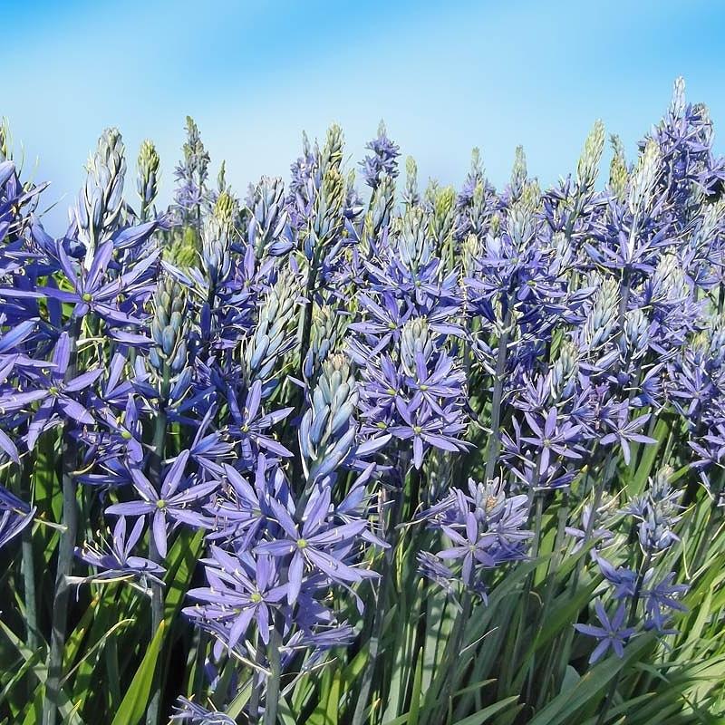 Bulbose a fioritura primaverile:Camassia
