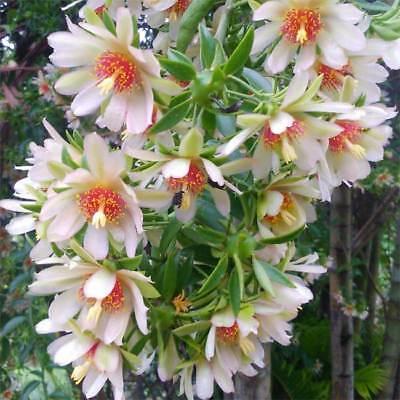 Cactus dai frutti edibili: Pereskiaaculeata