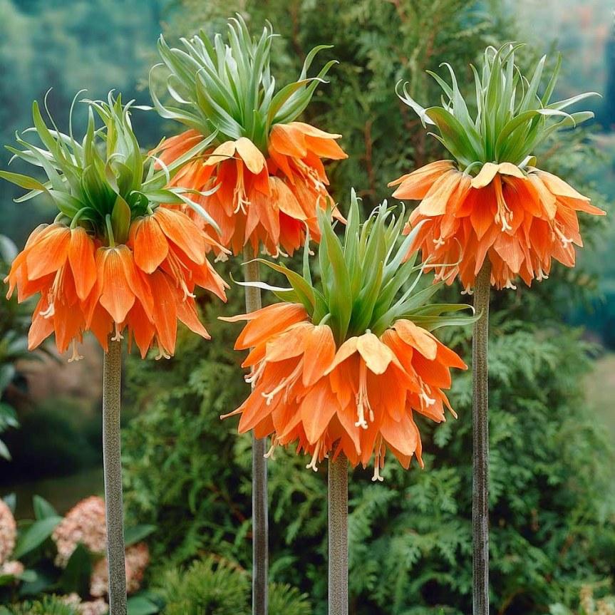 Bulbose ornamentali: Fritillaria