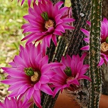 Cactus ornamentali: Wilcoxiaviperina
