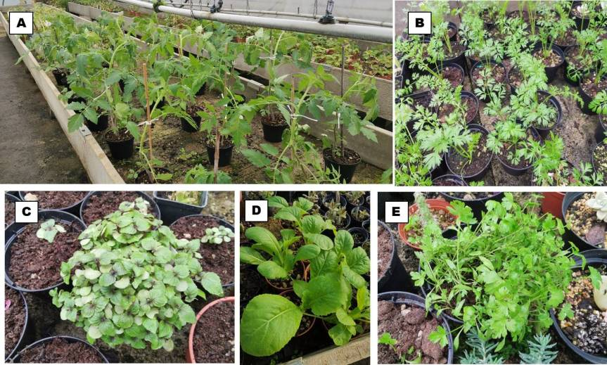 Research: Improving Quality and Production of Horticultural Crops Through the Use of A Biostimulant Based on Inula Viscosa and Control of SeedlingPathogens