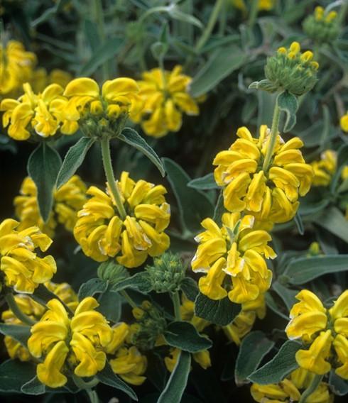 Piante mediterranee resistenti alla siccità: Phlomisgrandiflora