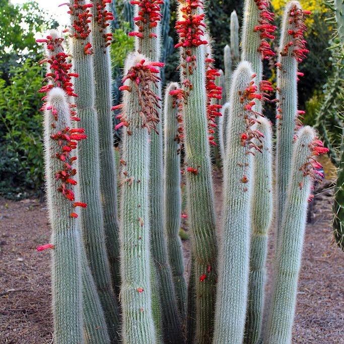 Cactus ornamentali: Cleistocactuswenlandiorum