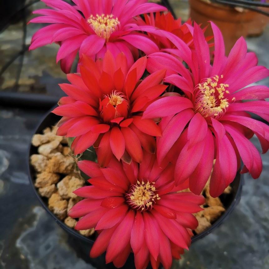 Gymnocalicium in fiore