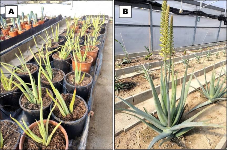 Article: Microbic and Algae biofertilizers in Aloe barbadensisMiller