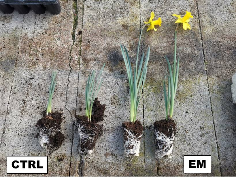 Article: Improving the quality of ornamental bulbous with Plant Growth-Promoting Rhizobacteria(PGPR)